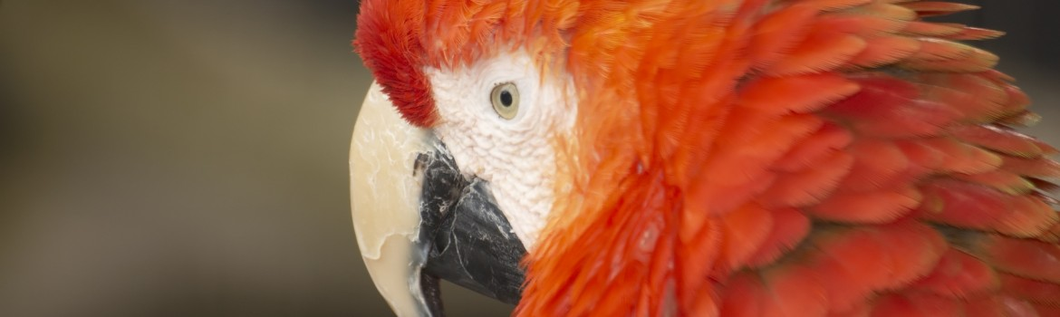 74481-red-macaw