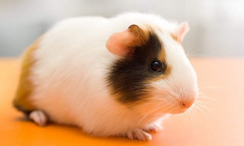 Cute guinea pig sitting on orange surface