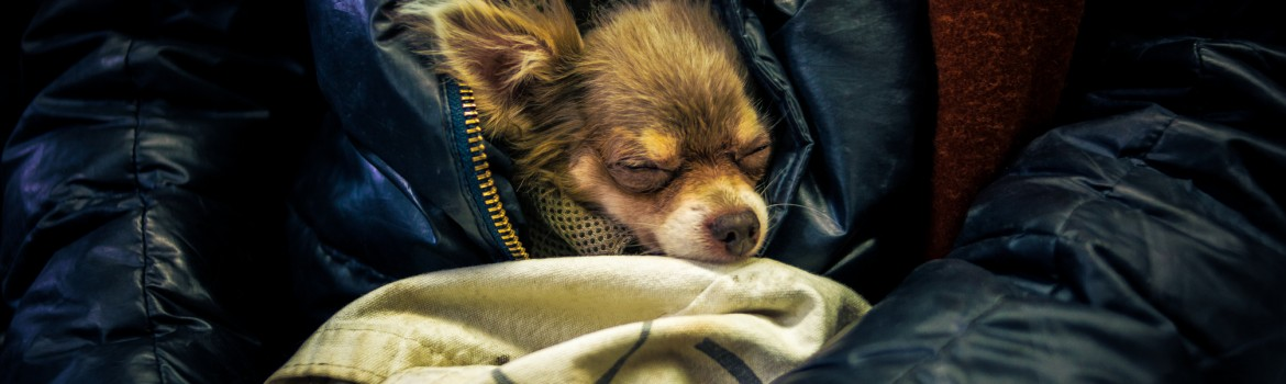 Tiny chihuahua dog sleeping in the arms of its owner on a cross-town Manhattan bus.